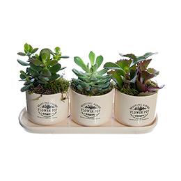 Комплект из Трех Композиций из Суккулентов в Винтажных Керамических кашпо Flower Pot